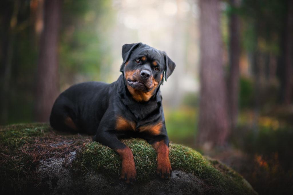 hundfotograf, hundfotografering, hundporträtt