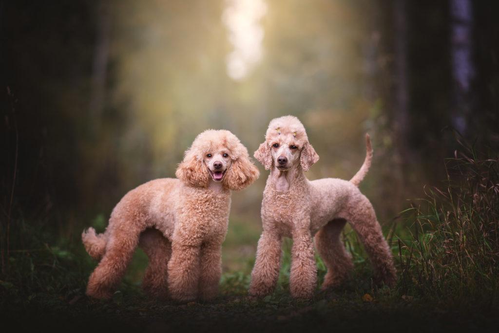 Hundfotograf, Hundporträtt, Hundfotografering