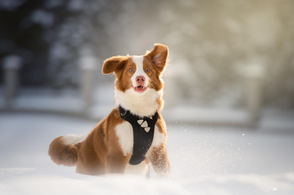 Hundfotograf, Hundfotografering Stockholm, hundvinterbilder