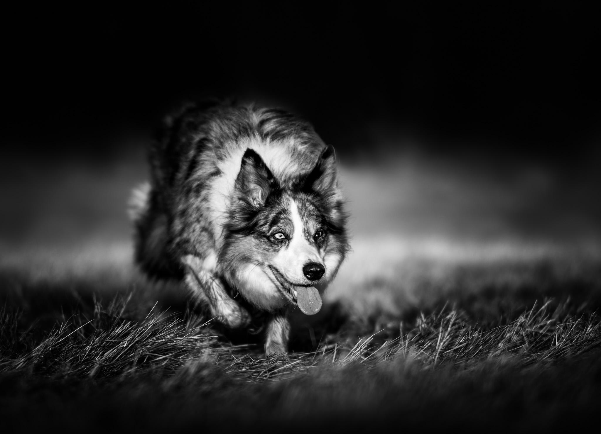 hundfotograf, hundfotografering, hundfoto svartvitt