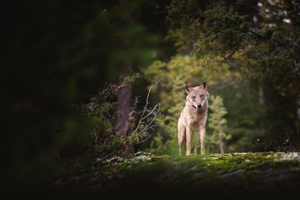 Södertörnsvargen, Hundfotograf, Djurfotograf