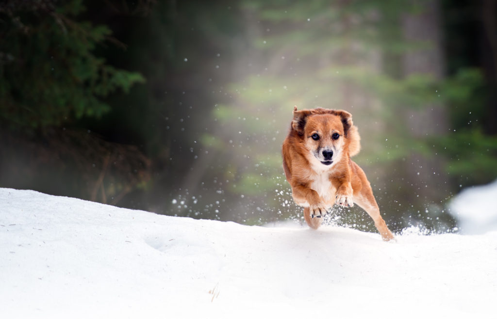 Hundfotograf Stockholm, Actionbild hund, Vinterbild,
